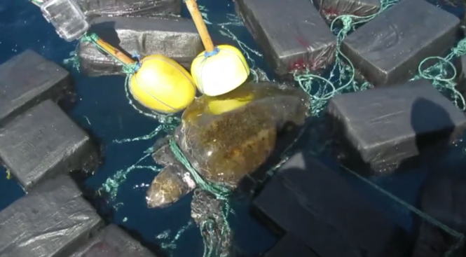 Sea Turtle Found Entangled in $53 Million Worth of Cocaine