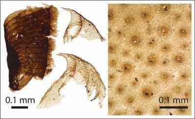 Microscopic animal fossil