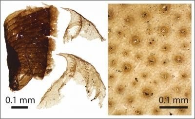 Microscopic animal fossil