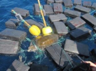 Trapped sea turtle