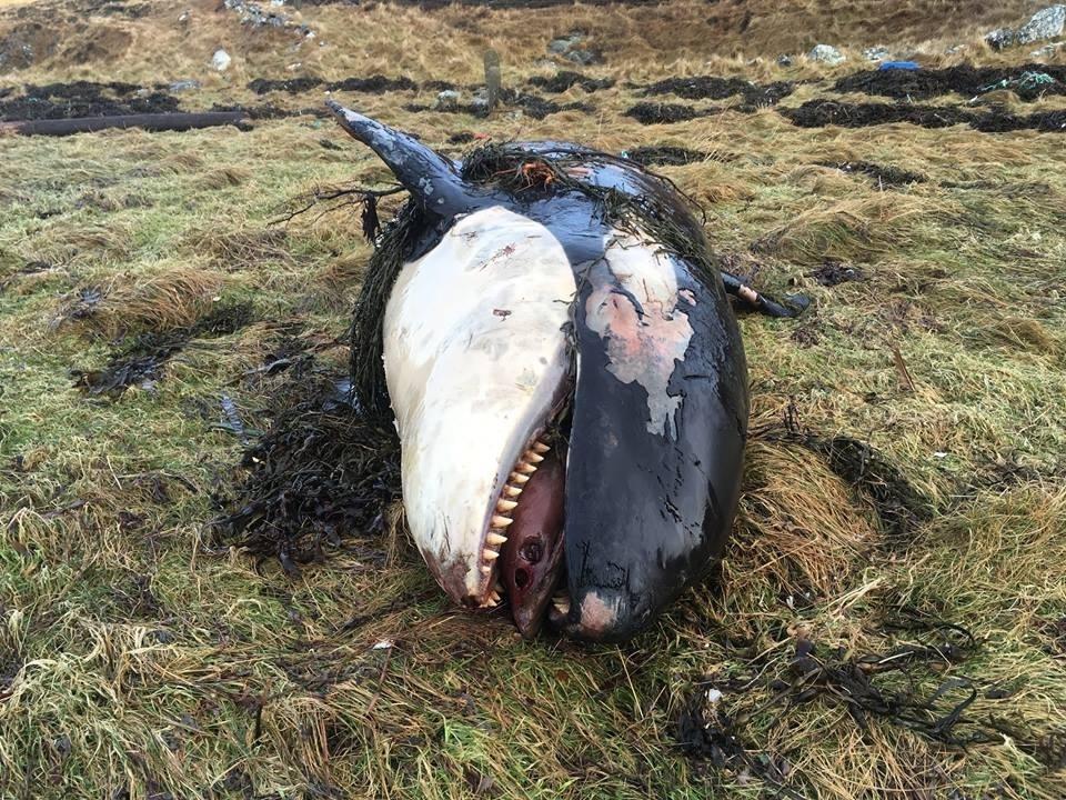 orca death