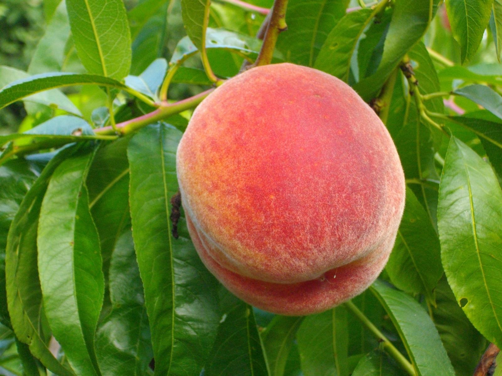 A peach on a tree