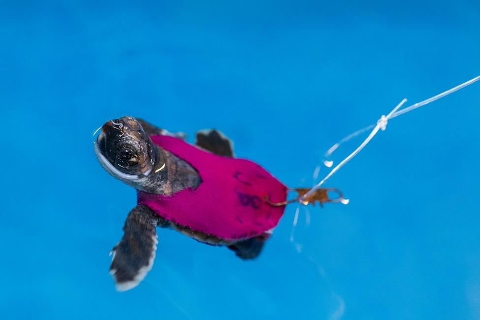 Sea turtle on treadmill