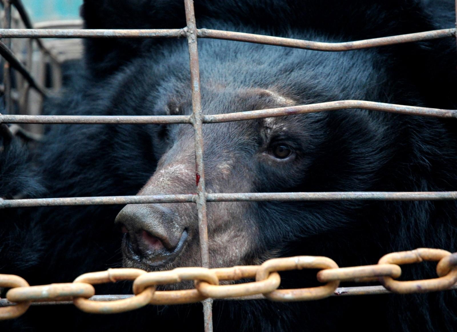 bear bile farming