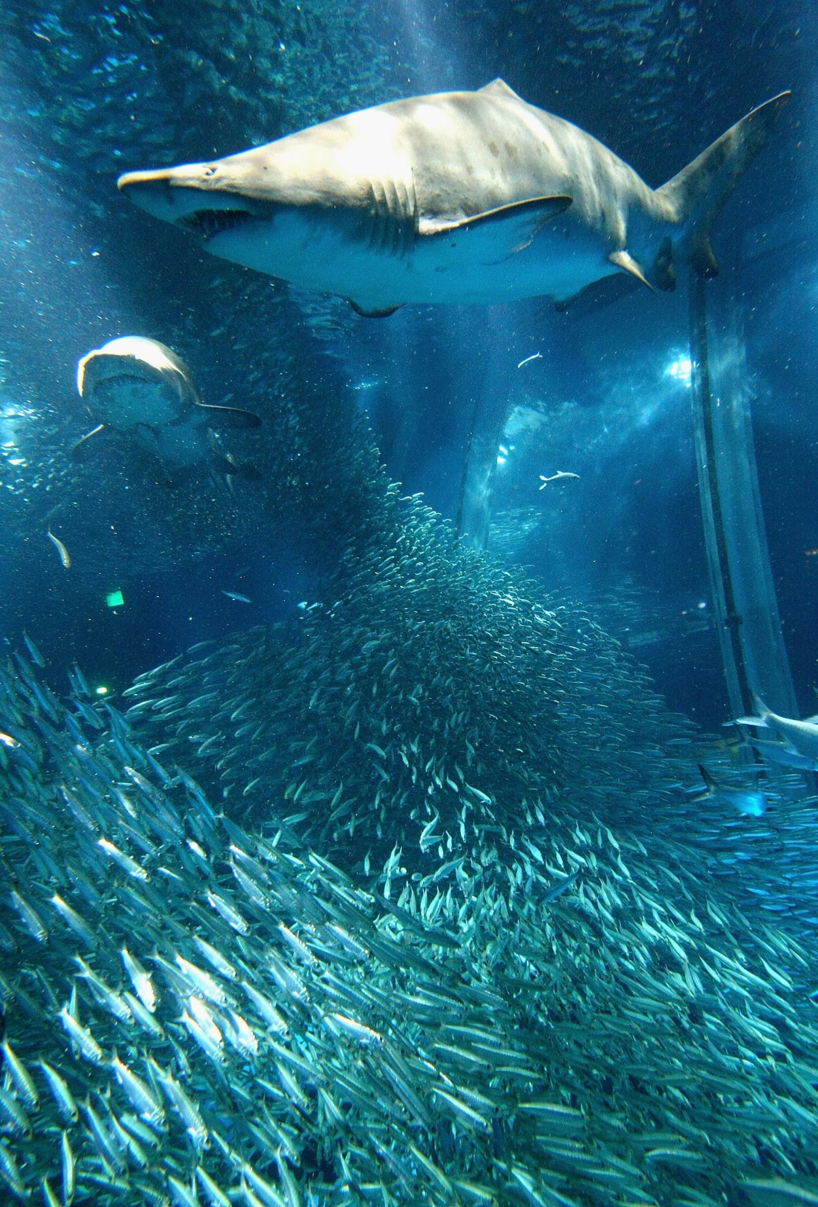 Intersex shark