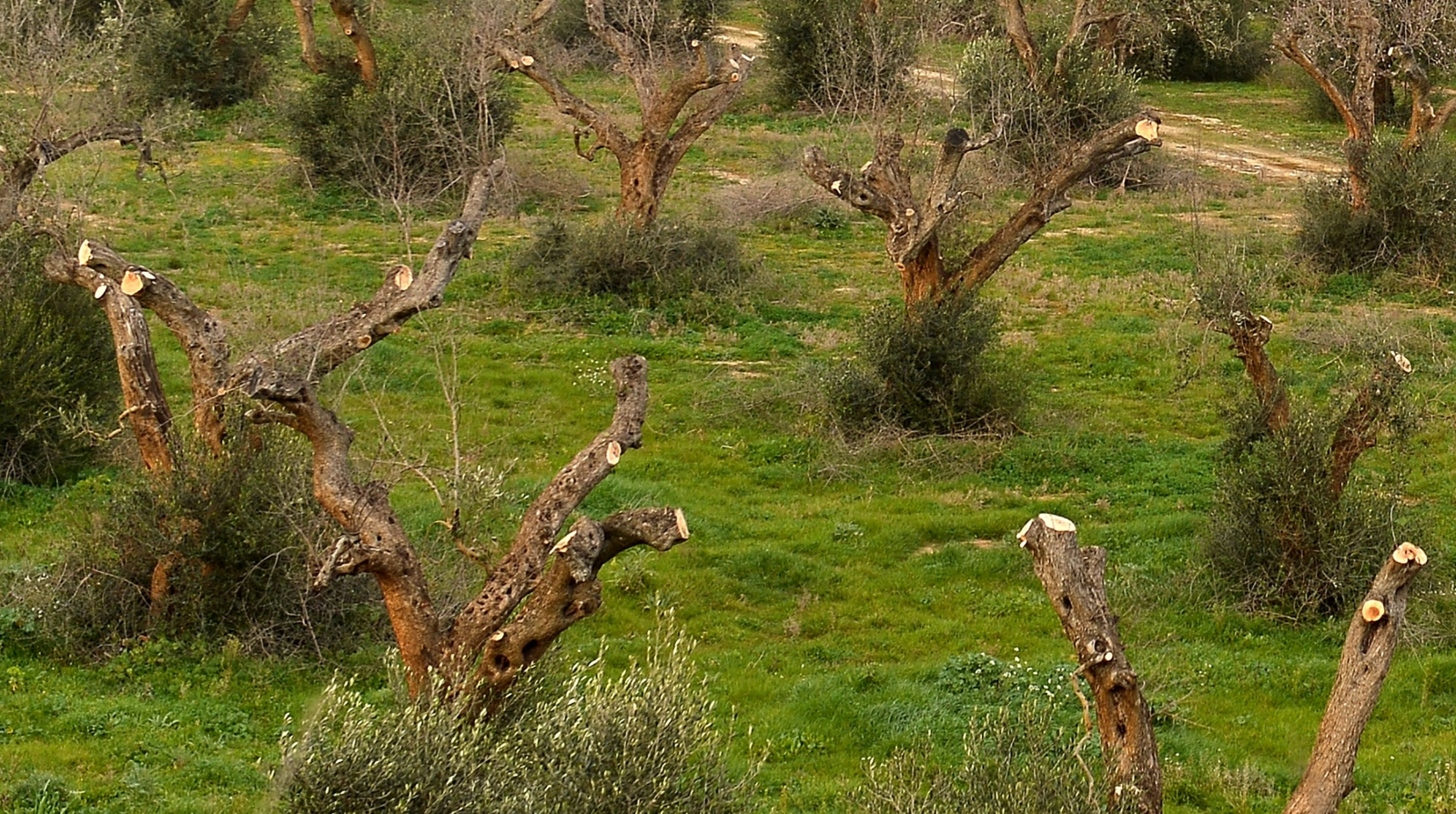 Olive trees infected by Xylella Fastidiosa in Gallipoli, Italy, in February 2016
