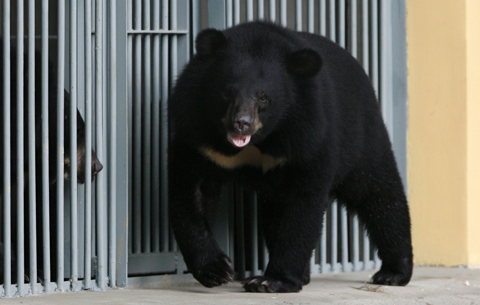 asiatic bear