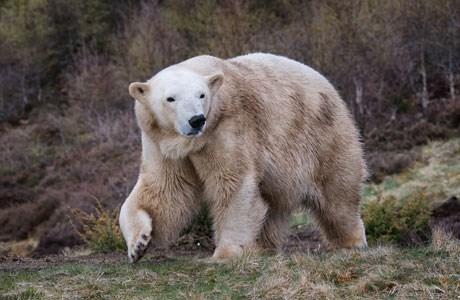 Victoria the polar bear