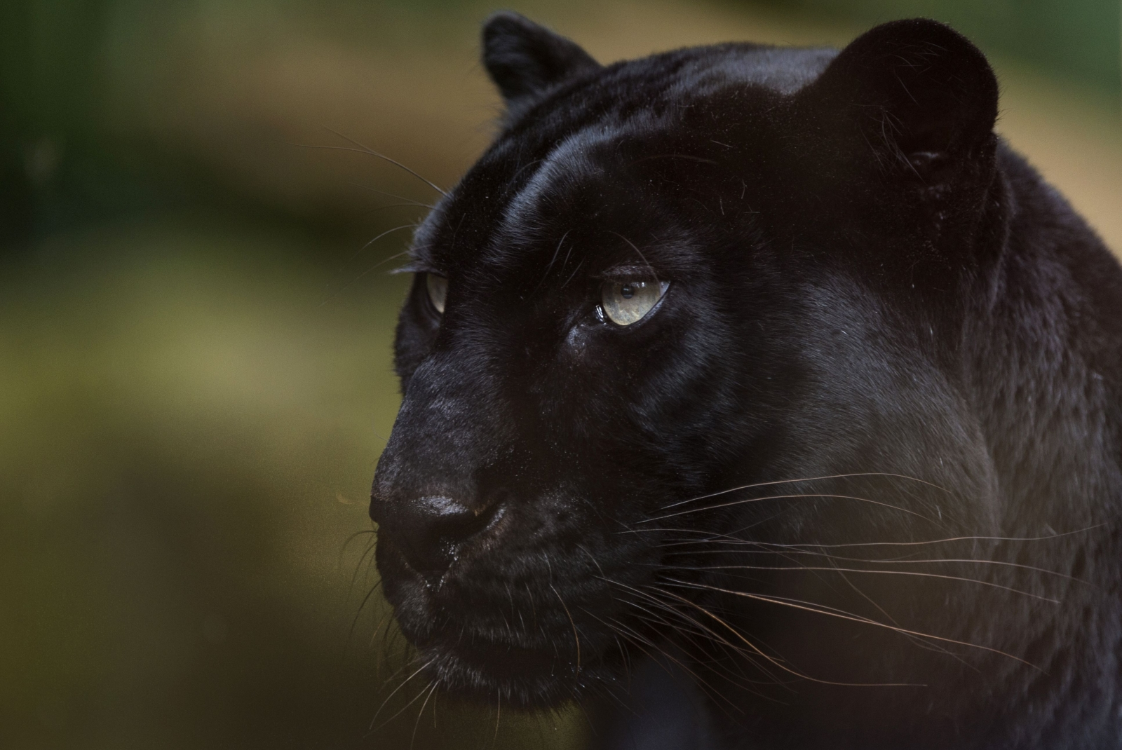 Ukrainian meets bloody end as black panther mauls him in