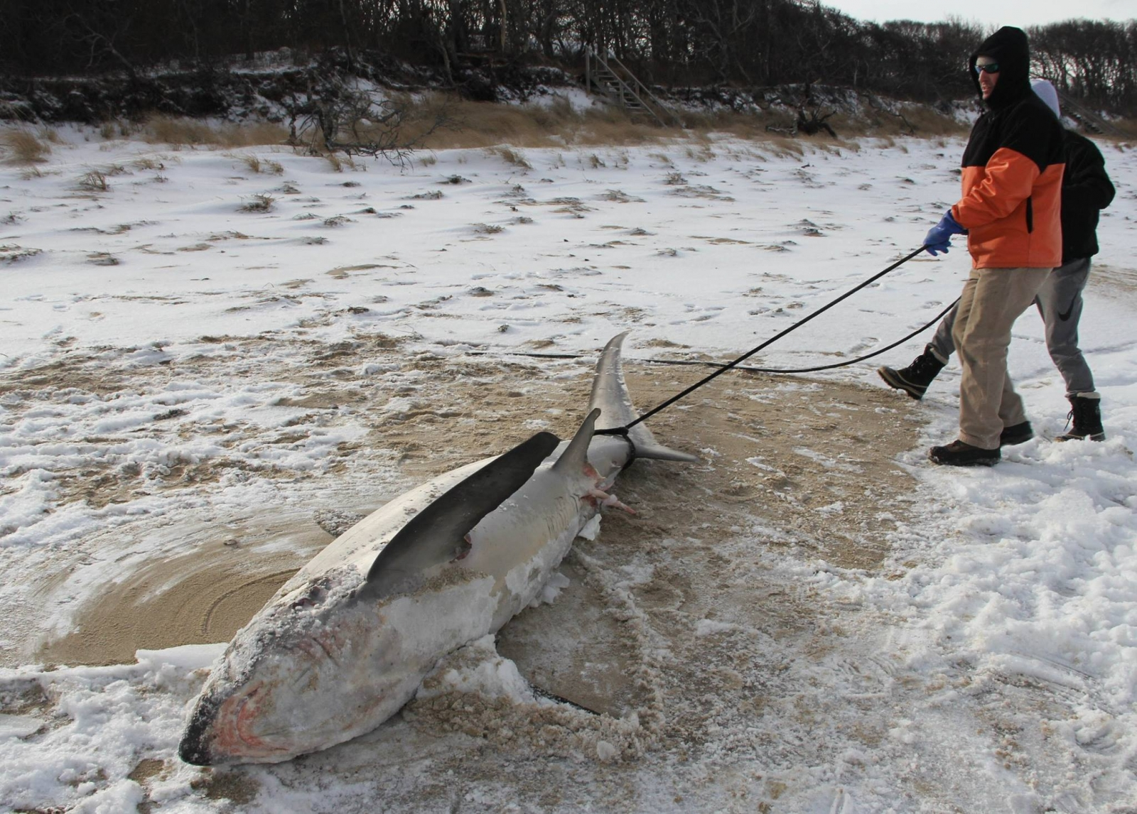 Sharks killed by freezing weather