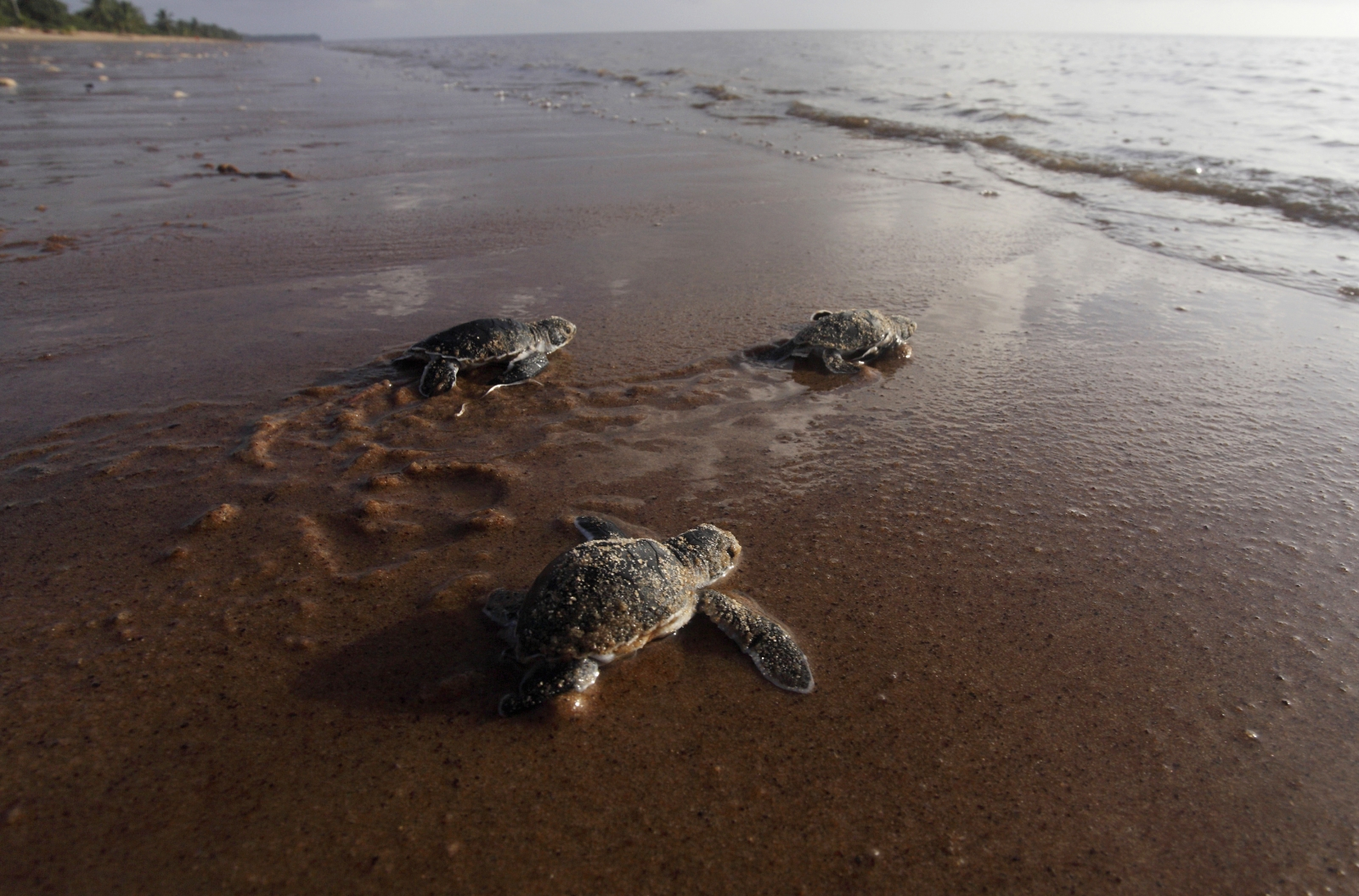 Rising temperature affecting the hatching process of green sea turtles: researchers said