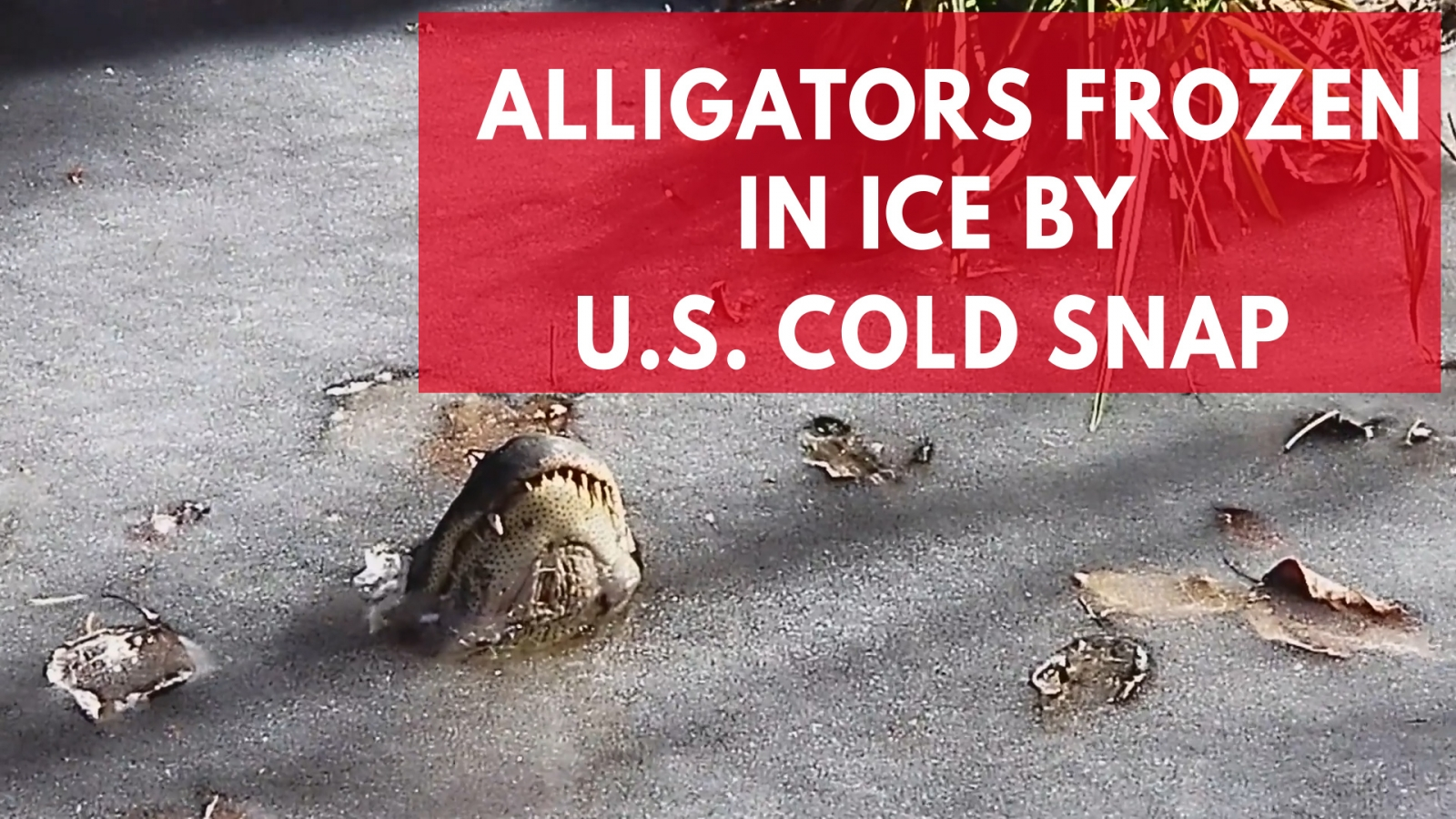 alligators-frozen-in-ice-by-u-s-cold-snap