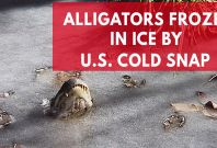 Alligators Frozen In Ice By U.S. Cold Snap