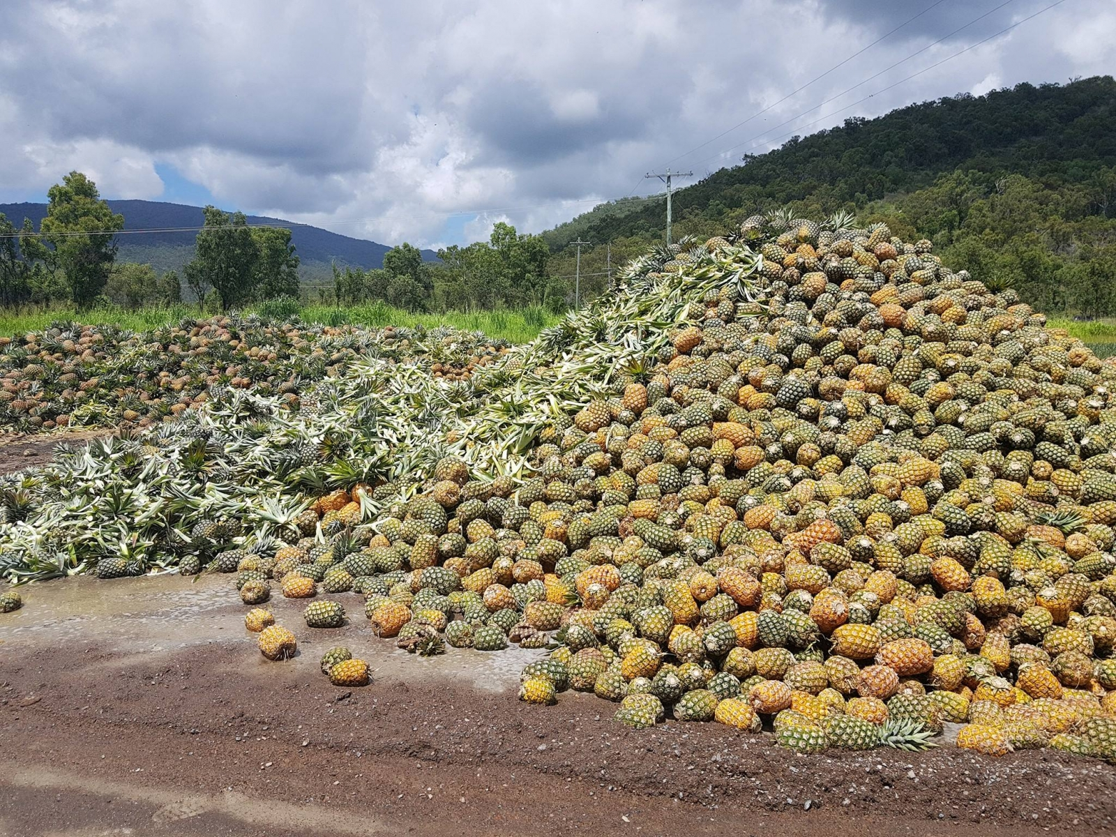 Rotting pineapples