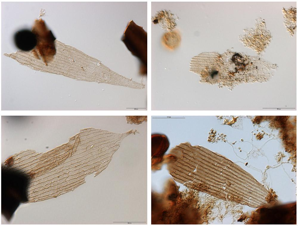 Fossil scales of moths and butterflies