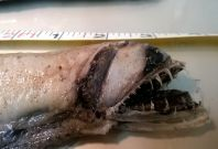 Scotland viperfish