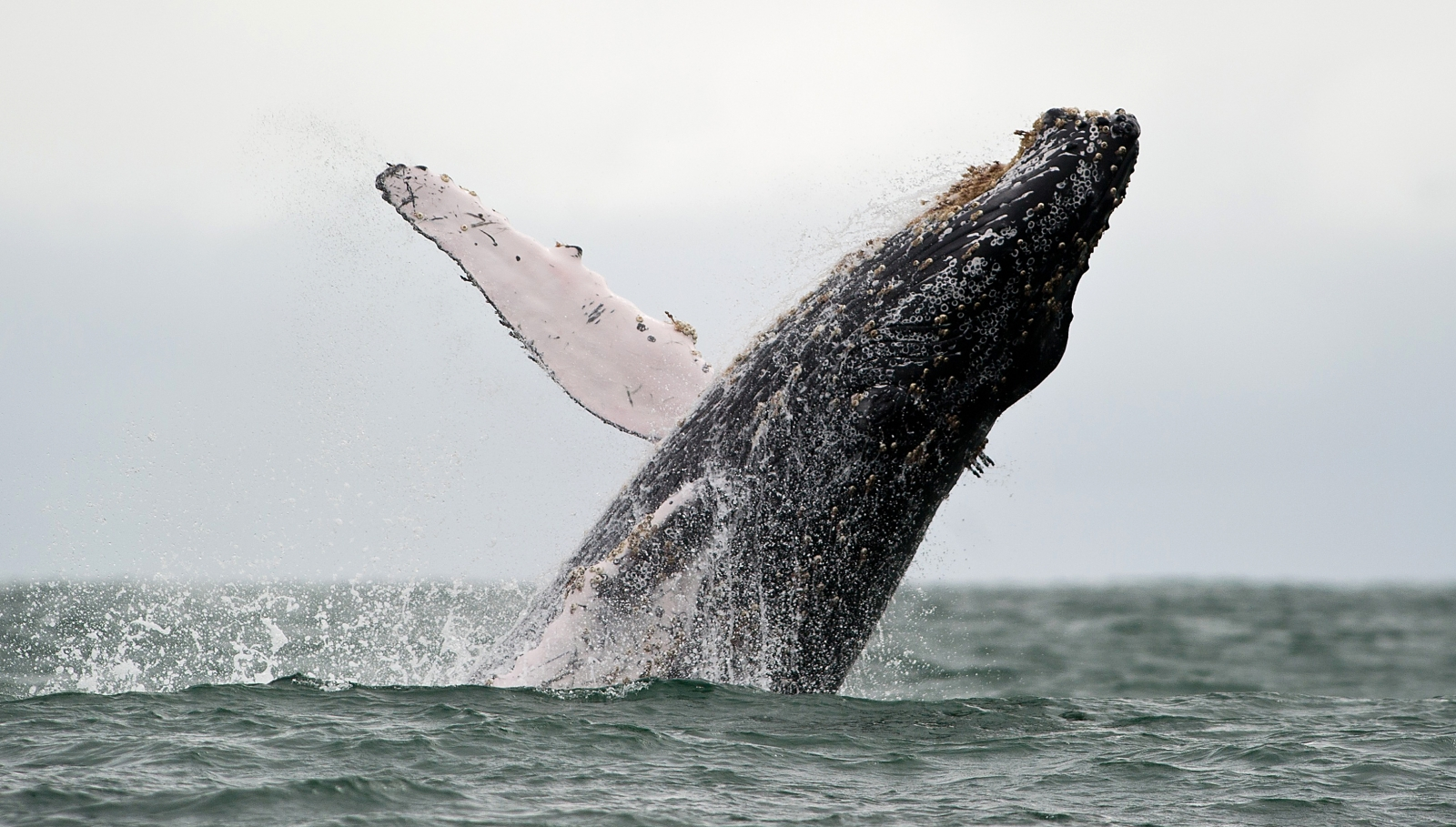 Humpback whale jumps for joy after being cut free from rope off Hawaii coast