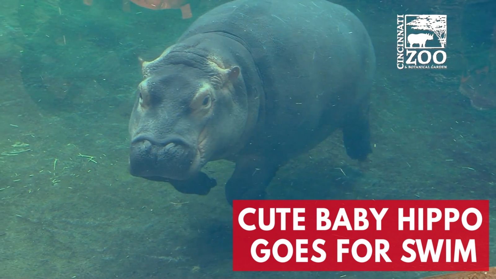 cute-baby-hippo-fiona-goes-for-a-swim-at-cincinnati-zoo-and-botanical-gardens