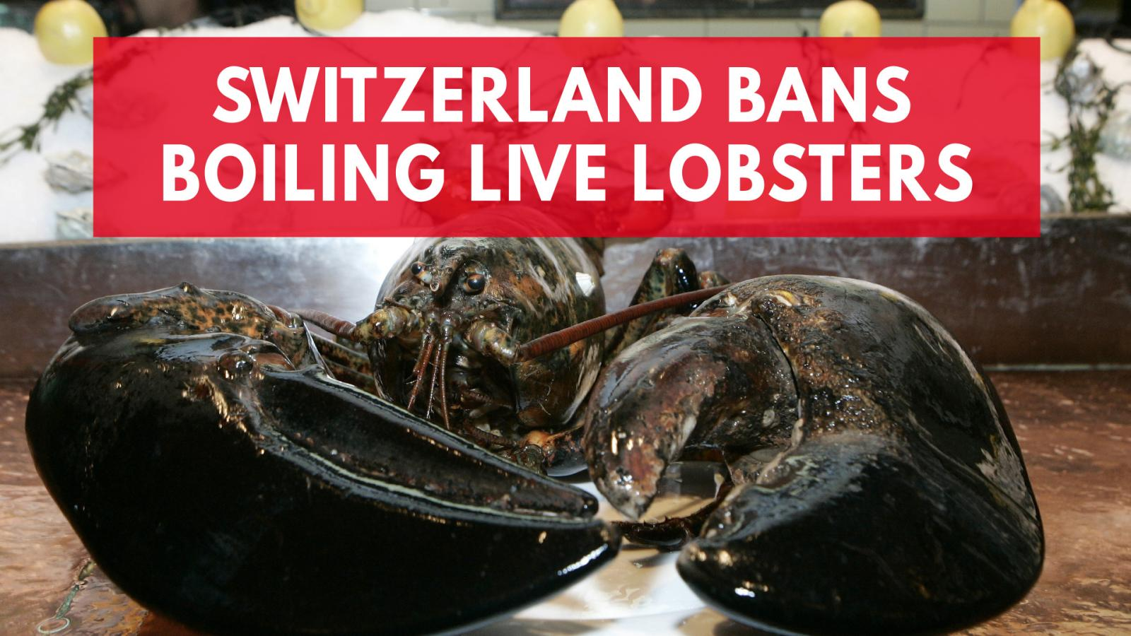 Switzerland bans citizens from boiling lobsters alive
