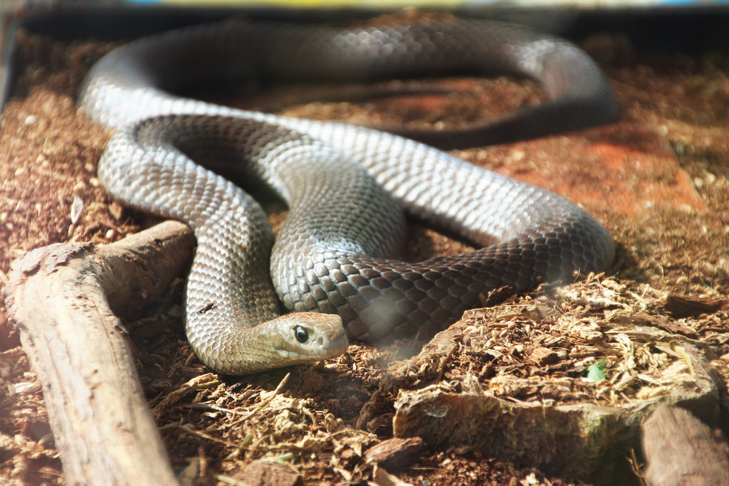 Schoolgirl finds venomous red-bellied black snake hiding in her Gryffindor bookbag