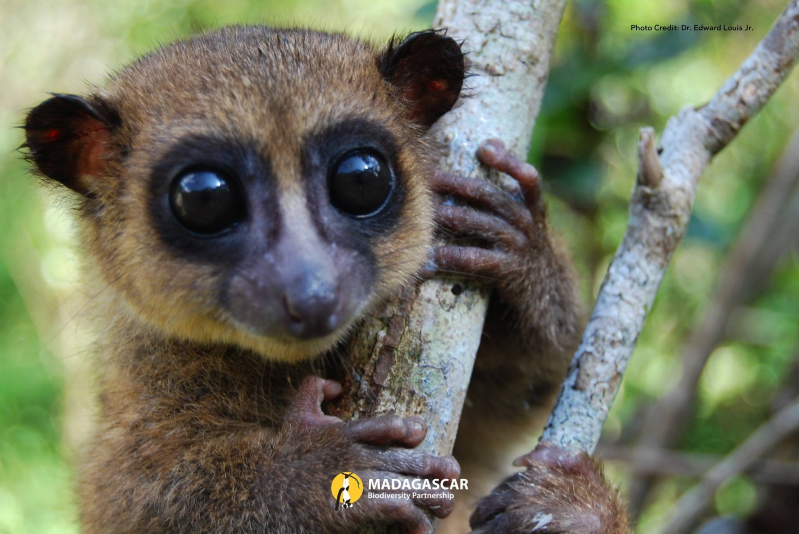 New lemur species