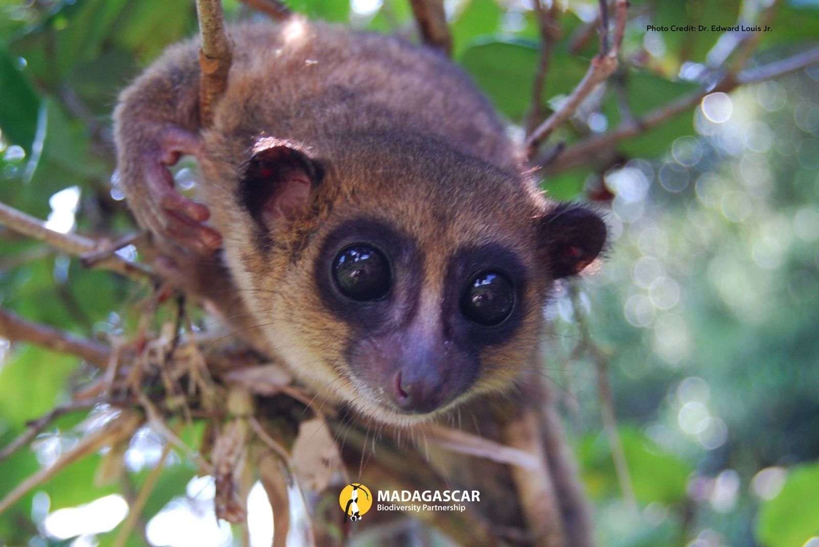 an introduction to the various species of lemurs in the world today How many lemurs are left in the world a: exact number of lemurs left in the world, as new species are 260 different species of monkeys in the world.