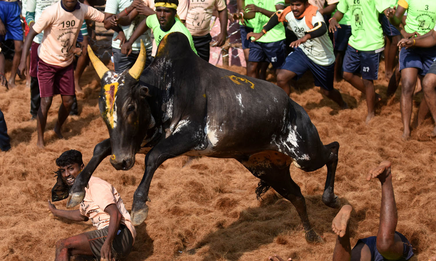 Jallikattu: Three men gored to death watching bull-taming event in India