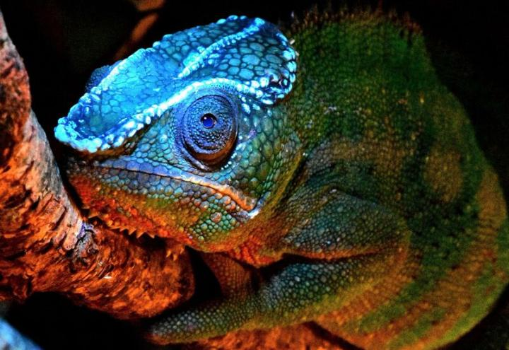 Stunning patterns on chameleons' heads glow blue under UV