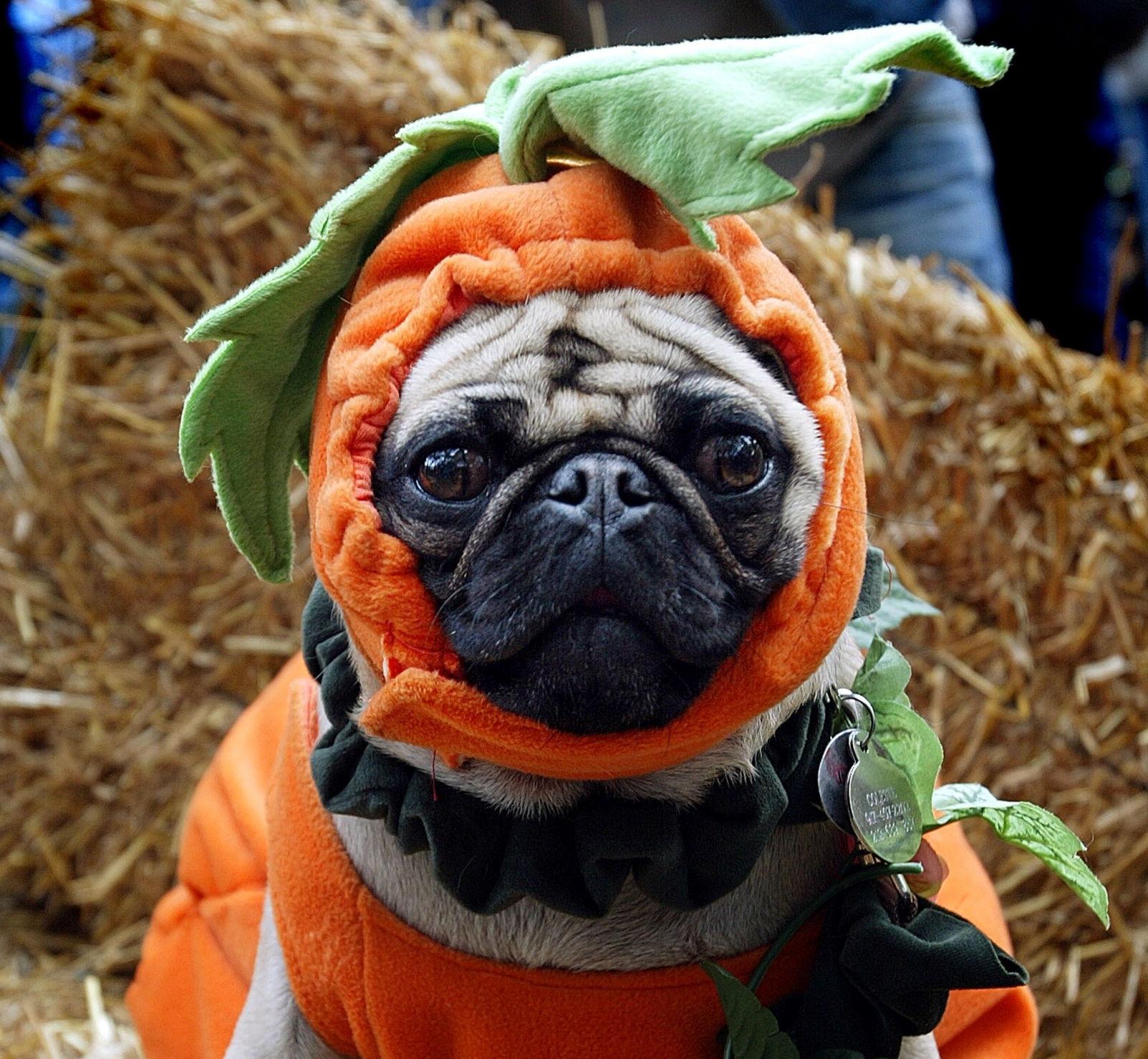 Dog in a pumpkin outfit