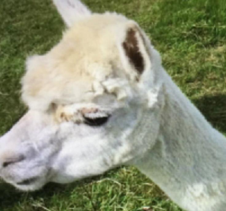 Alpaca murder buckinghamshire