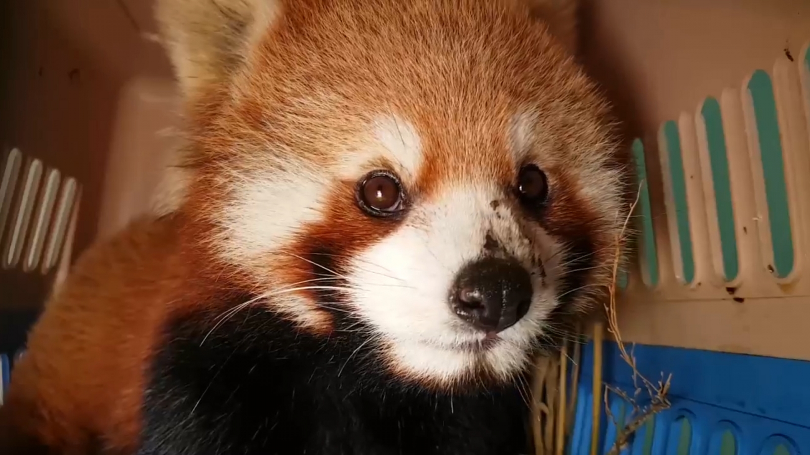 worlds-largest-seizure-of-live-red-pandas-conducted-in-laos
