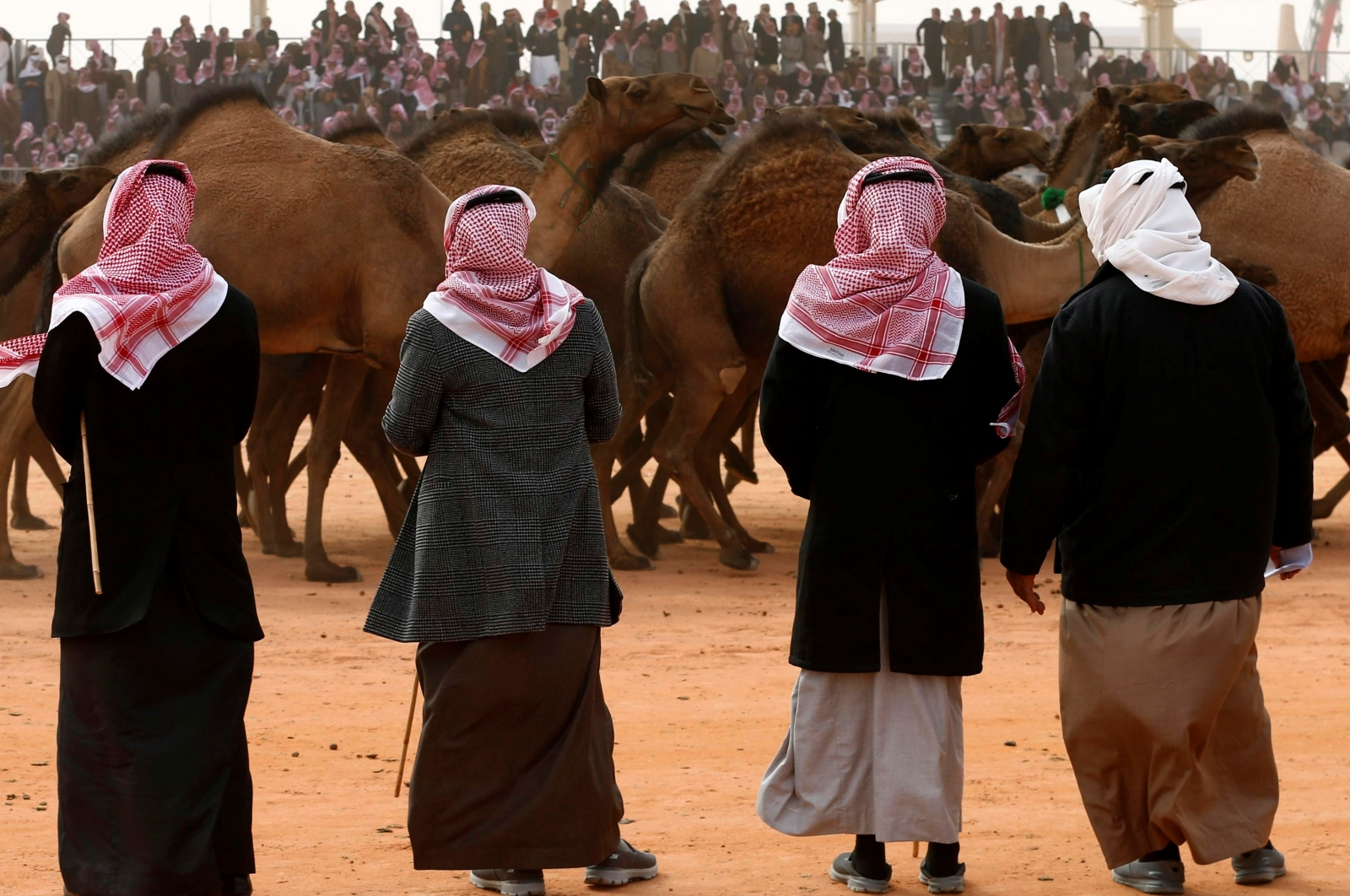 Camel beauty contest hit by cheating scandal after herders injected animals with Botox