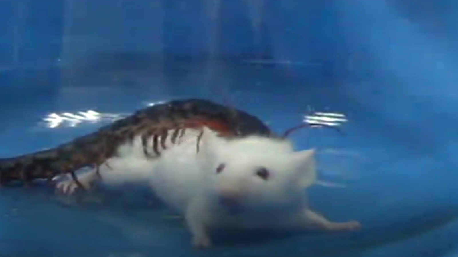 watch-centipede-rapidly-attack-kunming-mouse