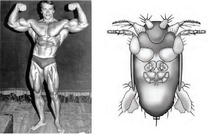 Newly Discovered 'Big-Armed Fly' Named After Schwarzenegger