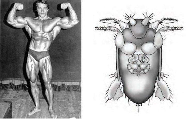 Arnold Schwarzenegger and the New Fly Species M. arnoldi