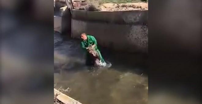 Boar drowning