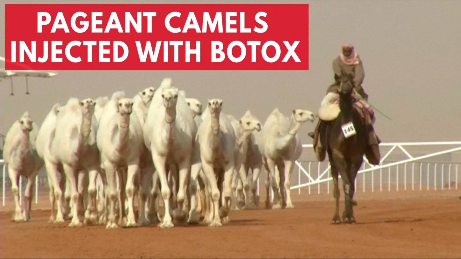 12-camels-disqualified-from-beauty-contest-for-receiving-botox-injections