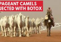 12 Camels Disqualified From Beauty Contest For Receiving Botox Injections