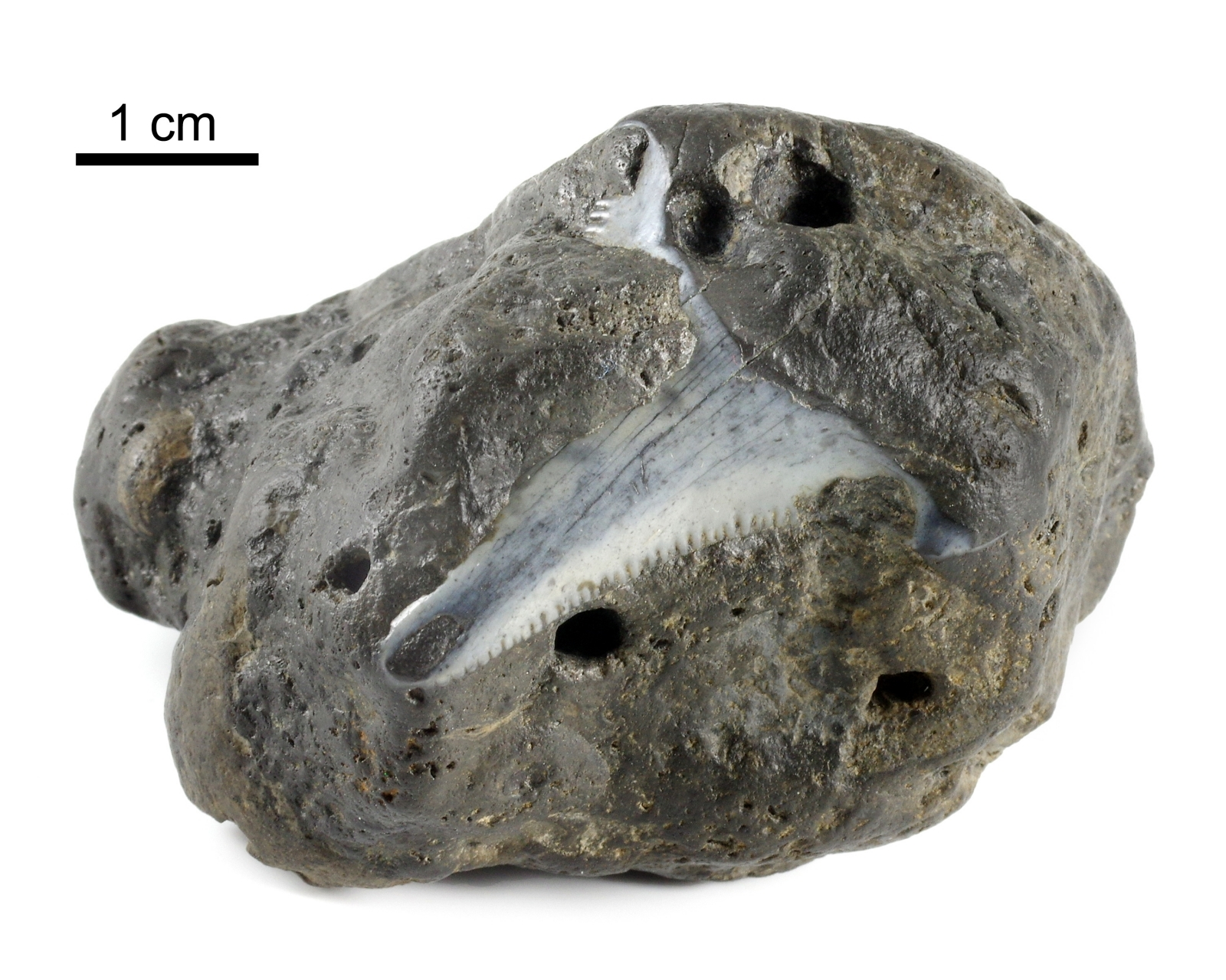coprilite with embedded shark tooth