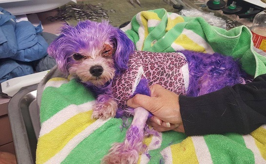Owners dye dog's fur purple
