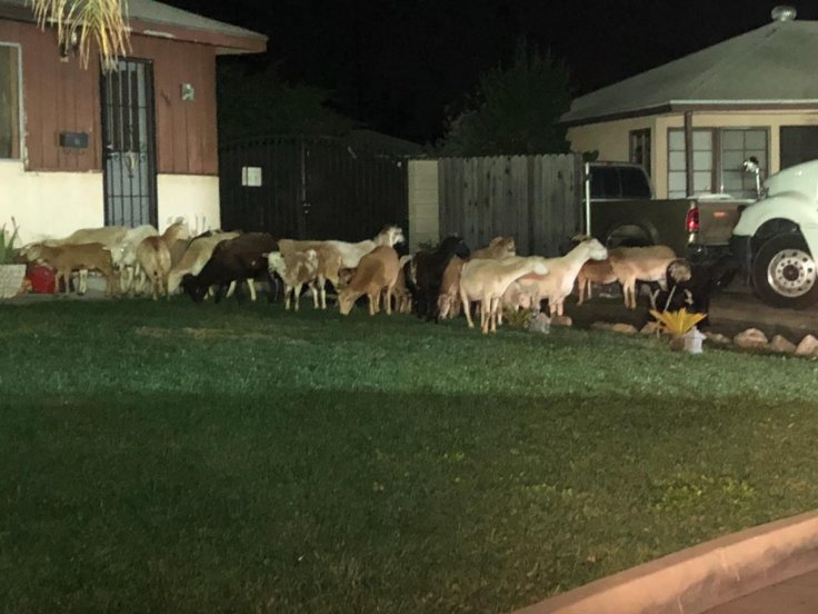 'One for the books': Herd of goats and sheep evade capture on streets of Los Angeles