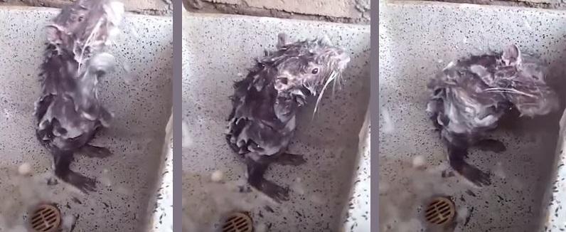 rat video