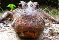 Orange crocodiles Gabon