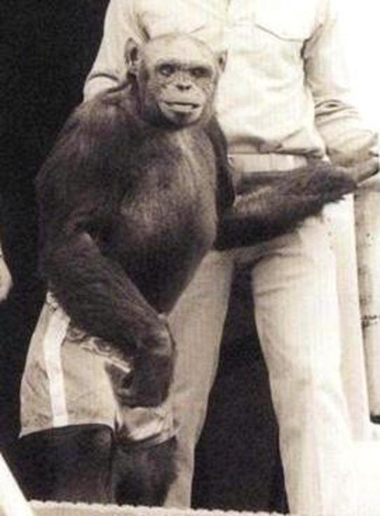 Oliver the chimp