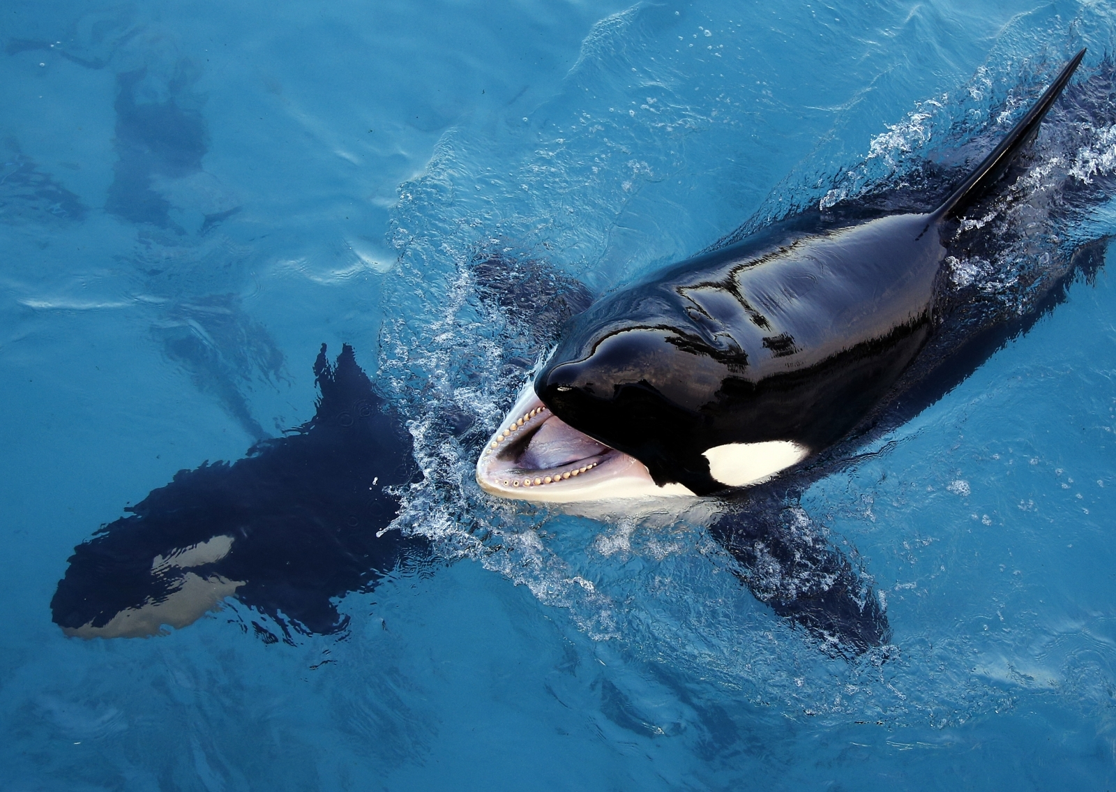 Killer whale is taught how to speak through its blowhole ...