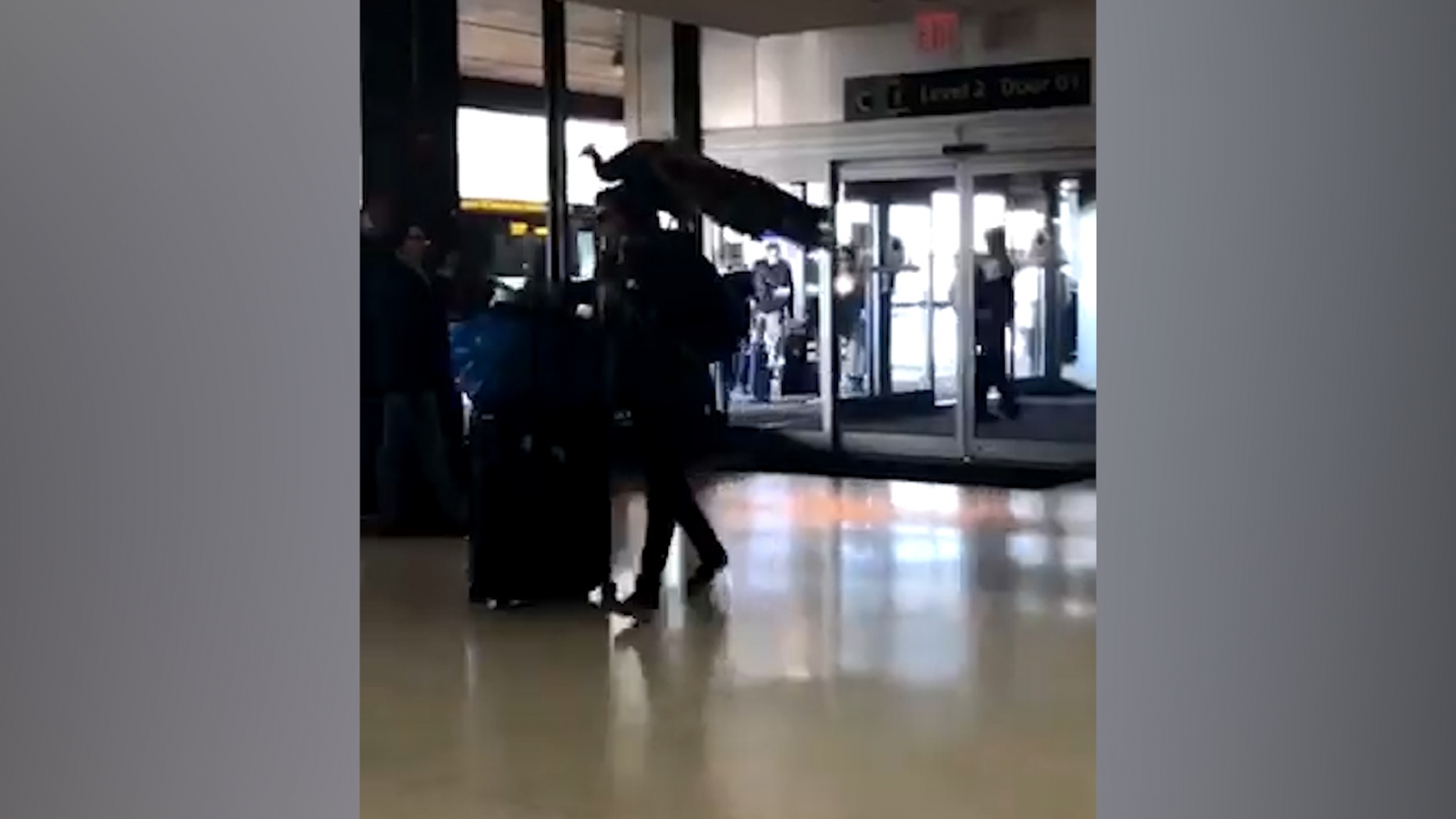 woman-tries-to-board-united-flight-with-peacock-as-comfort-animal