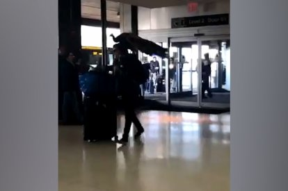 Woman Tries to Board United Flight With Peacock as Comfort Animal
