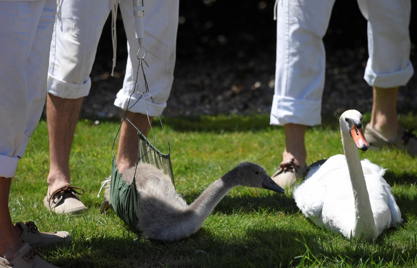 Queen's swans