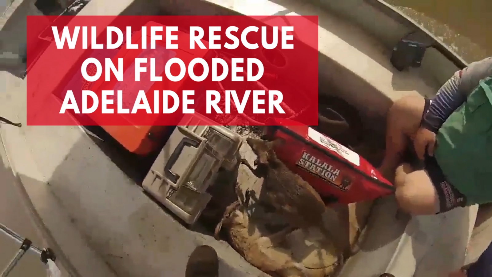 men-rescue-wallabies-and-pig-during-fishing-trip-on-flooded-adelaide-river