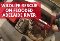 Men Rescue Wallabies And Pig During Fishing Trip On Flooded Adelaide River